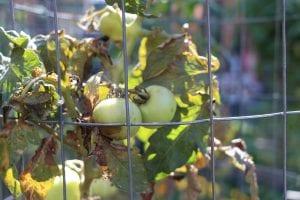 Growing unripe tomatoes.